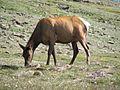 Cervus canadensis (North American elk) 10 (8291413672).jpg