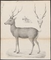 Cervus sika - met schedel - 1833-1850 - Print - Iconographia Zoologica - Special Collections University of Amsterdam - UBA01 IZ21500346.tif