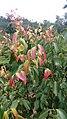 Ceylon Cinnamon Tree.jpg