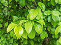 Chaenomeles japonica in La Jaysinia (3).jpg