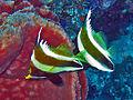 Chaetodontidae - Heniochus chrysostomus.jpg