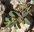 Chamaesyce serpyllifolia ssp serpyllifolia 8.jpg