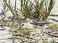 Charadrius nivosus (nesting).jpg