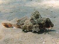 Chelidonichthys lastoviza Croazia.jpg