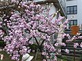 """Cherry-Blossom-Viewing through the """"Tunnel"""" at Japan Mint in 201504 038.JPG"""