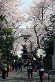 Cherry Blossoms at Honmonji, Tokyo.jpg