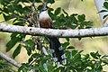 Chestnut-bellied Cuckoo 2506091171.jpg