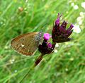 Chestnut Heath. Coenonympha glyceron. - Flickr - gailhampshire.jpg