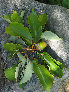 Chestnut Oak.jpg
