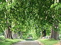Chestnut Tree-Lined Avenue leading from St Lawrence Toot Baldon Church - geograph.org.uk - 414228.jpg