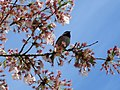 Chickadee in the blossoms.jpg