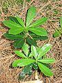 Chimaphila umbellata Superior NF 2.jpg