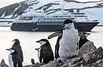 Chinstrap Penguins Half Moon Island Antarctica 12 (32394787237).jpg