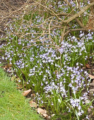 Chionodoxa - Self-sown carpet of Chionodoxa siehei under a deciduous shrub, flowering in early April in the West Midlands, England.
