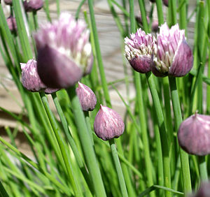 Chives: (chives, allium, purple, green, herb, ...