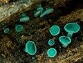 Chlorociboria aeruginosa (Oeder) Seaver ex C.S. Ramamurthi, Korf & L.R. Batra 435438.jpg