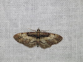 Chloroclystis approximata (15756667892).jpg