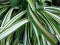 Chlorophytum comosum serres du Jardin du Luxembourg.JPG