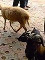 Cho dê cỏ và cừu Phan Rang ăn.JPG