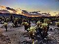 Cholla Cactus Garden at Sunset (50010867961).jpg
