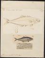 Chorinemus orientalis - 1700-1880 - Print - Iconographia Zoologica - Special Collections University of Amsterdam - UBA01 IZ13500449.tif