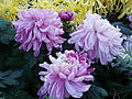 ChrysanthemumMorifolium11.jpg