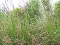 Chrysopogon zizanioides-seeding habit-Kokomo Haiku.jpg