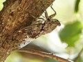 Cicada - Cicada orni - Flickr - gailhampshire.jpg