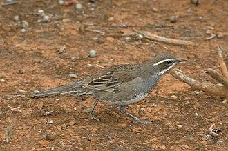 Psophodidae - Chestnut-backed quail-thrush (Cinclosoma castanotum)
