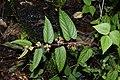Cissus bicolor 7228.jpg