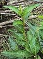 Citharexylum spinosum leaves 5.JPG