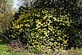 City of London Cemetery and Crematorium ~ yellow flowering rhododendron.jpg