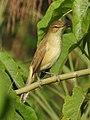 Clamorous Reed Warbler Acrocephalus stentoreus by Dr. Raju Kasambe DSCN1602 (15).jpg