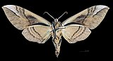 Clanis bilineata formosana MHNT CUT 2010 0 72 Wushe Taiwan female ventral.jpg