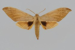 Clanis deucalion BMNHE813931 male up.jpg
