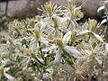 Clematis flamula flor.jpg