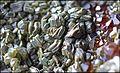 ClinochloreEtGrenatItaliePreovenanceAlaRefMGL35323 MuséumHistoireNaturelleLille GLAM2016 PhotoLamiot 08.jpg