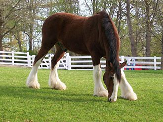 James City County, Virginia - One of the famous Clydesdale horses is seen at the Busch Gardens Williamsburg theme park, part of a massive Anheuser-Busch development in James City County which also includes a brewery, office park, and the Kingsmill Resort located east of Williamsburg just west of Grove