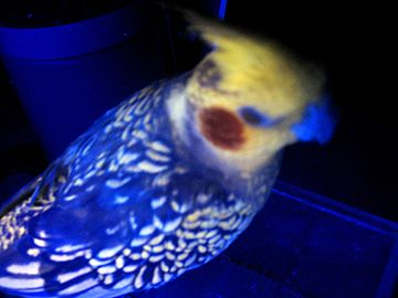 Cockatiel under blacklight.jpg