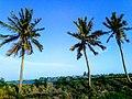 Coconut tree image.jpg