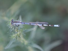 Coenagrion resolutum.jpg