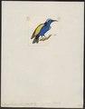 Coereba brevipes - 1820-1860 - Print - Iconographia Zoologica - Special Collections University of Amsterdam - UBA01 IZ19000367.tif