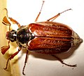 Coleoptera- Melolonthidae- Melolontha melolontha (m) (3192129531).jpg