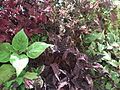 Coleus from lalbagh 1690.JPG