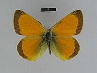 Colias lada male Syntype 03 dorsal side ZISP.jpg