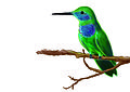 Colibri coruscans - David Barragán.jpg
