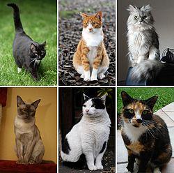 बिल्ली - विकिपीडिया