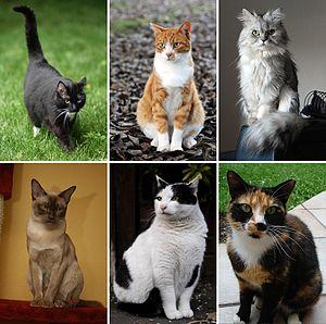 56bb33d864a2 Γάτα - Βικιπαίδεια
