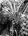 Collectie Nationaal Museum van Wereldculturen TM-10021337 De stam van een boomvaren Saba -Nederlandse Antillen fotograaf niet bekend.jpg