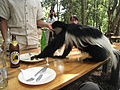 Colubus monkey seeking food.jpg